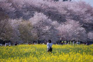 桜,埼玉県,幸手権現堂桜堤の桜