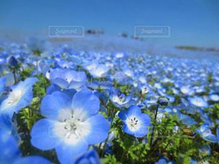 花,青空,青,水色,ネモフィラ,ひたち海浜公園,茨城,青色