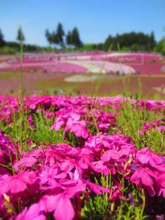 花,ピンク,芝桜,羊山公園
