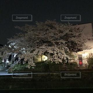 満開の夜桜の写真・画像素材[1123568]