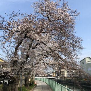 桜,京都,樹木,早朝,草木