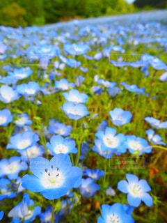 ネモフィラの花畑の写真・画像素材[1149701]