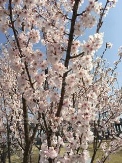 花,桜,屋外,サクラ,景観