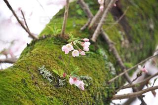 桜,木,ピンク,緑,苔