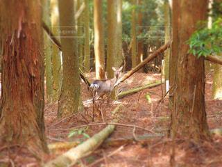 野鹿の写真・画像素材[1199664]