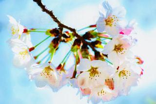 桜の写真・画像素材[1434236]