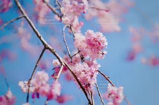 花,春,桜,ピンク,桃色,フォトジェニック,インスタ映え