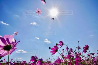 コスモスと戦闘機の写真・画像素材[1578601]