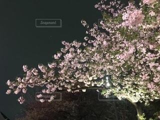 花,桜,夜桜,東京都,品川