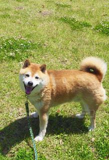 芝生の上でご機嫌な柴犬の写真・画像素材[1187575]