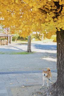 銀杏の木と柴犬の写真・画像素材[1187610]