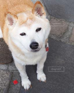 かわいい顔で見上げる柴犬の写真・画像素材[1187639]
