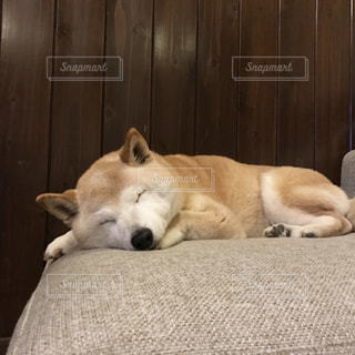 気持ち良さそうに眠る柴犬の写真・画像素材[1187663]