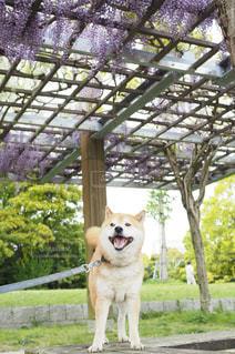 柴犬と藤棚の写真・画像素材[1187669]