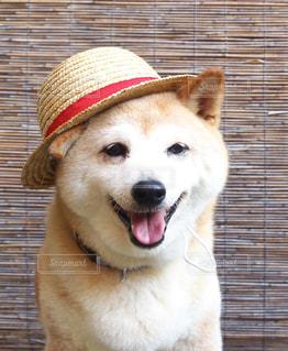 麦わら帽子をかぶる柴犬の写真・画像素材[1210392]