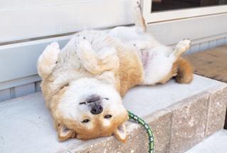 お腹を見せて横たわっている柴犬の写真・画像素材[1215960]
