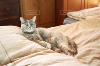 ベッドの上でのんびりとまどろむ猫の写真・画像素材[1216061]