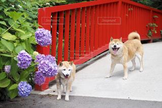 紫陽花と赤い橋と柴犬の写真・画像素材[1225096]