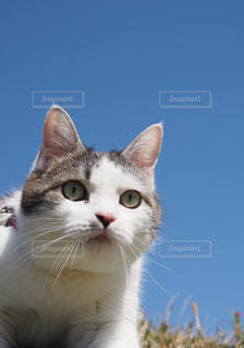 カメラを見ている猫の写真・画像素材[1261296]