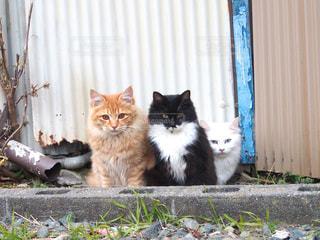 仲良く並んでカメラ目線をくれる野良猫の兄弟の写真・画像素材[1261303]