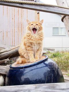 あくびする茶トラ猫の写真・画像素材[1261336]
