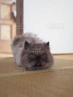 カメラを見ている猫の写真・画像素材[1261357]