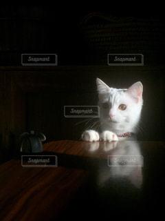 ネズミのおもちゃを狙う白猫の写真・画像素材[1261384]