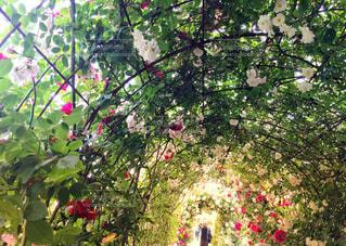 素敵な薔薇のアーチですの写真・画像素材[3029716]