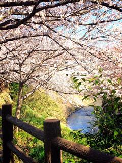 花,春,桜,森林,屋外,湖,散歩,水面,花見,景色,樹木,フェンス,草木,エリア