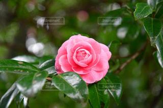 近くに緑の葉とバラのアップの写真・画像素材[1197150]