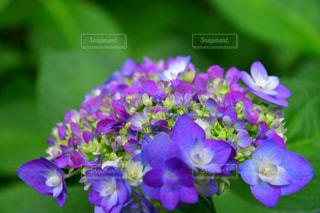 花,屋外,紫陽花,梅雨