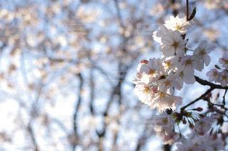 自然,花,春,桜,ピンク,緑,植物,かわいい,青空,青,散歩,花見,サクラ,リラックス,癒し,可愛い,ゆったり,さくら,カワイイ