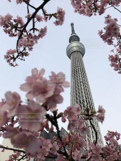 東京スカイツリーと桜の写真・画像素材[1122454]
