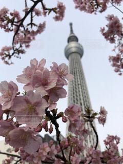 東京スカイツリーと桜の写真・画像素材[1122462]