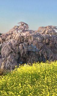 朝,桜  菜の花  福島県  三春の滝桜