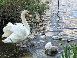 春,鳥,親子,水辺,ふわふわ,モフモフ,白鳥,母,沼,くちばし,お母さん,子育て,茨城県,ヒナ