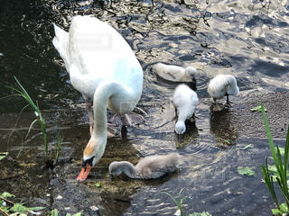 白鳥の子育ての写真・画像素材[1193864]