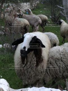 イスラエルの牧草地にての写真・画像素材[1194927]