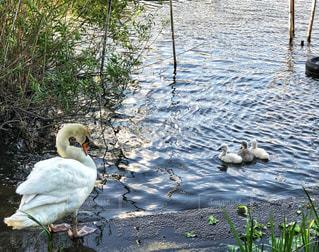 水辺に浮かぶ白鳥の親子の写真・画像素材[1217116]