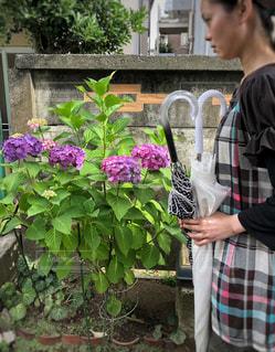 紫陽花の季節にの写真・画像素材[1225263]