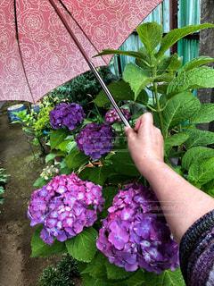雨,傘,庭,屋外,緑,紫,手,紫陽花,長靴,梅雨,6月,レインシューズ,カサ,梅雨をふき飛ばそう♬,6月6日