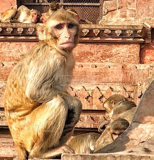 インドのお寺に住んでいる お猿さんたちの写真・画像素材[1227744]