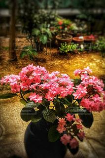 お部屋,雨,庭,ピンク,室内,縁側,紫陽花,梅雨,のんびり,まったり,ダンスパーティ,品種,梅雨どき
