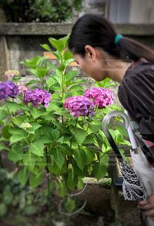紫陽花の季節にの写真・画像素材[1232342]