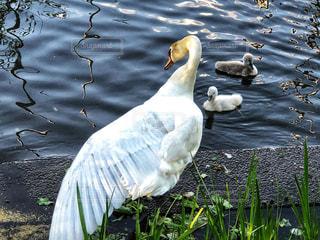 水,白鳥,羽,トレーニング,ダイエット,水鳥,習慣