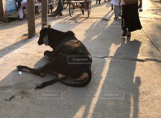 歩道に横たわっている黒犬の写真・画像素材[1247639]