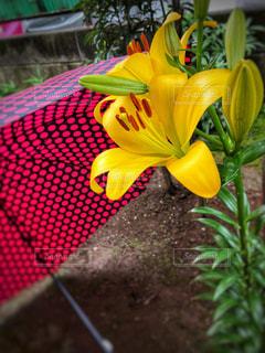 傘,庭,ゆり,百合,カサ,梅雨の晴れ間