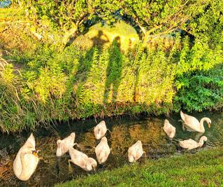 水路の白鳥🐦の写真・画像素材[1319754]