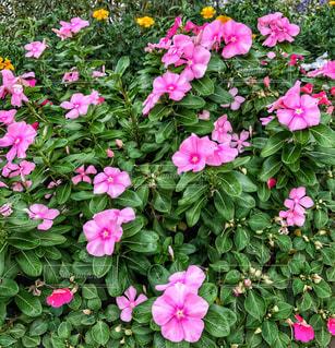 花,秋,庭,ピンク,緑,綺麗,可愛い,たくさん,残暑,桃色,可憐,ガーデン,初秋