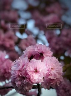 春,桜,木,ピンク,枝,花びら,美しい,八重桜,桃色,埼玉県,花弁,桜木,かたまる,重なる